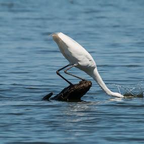 Splash by Pennye Thurmond - Animals Birds ( egret, white, spalsh, water, food,  )