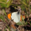 Stella Orangetip