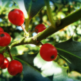 red fruits in the wild by Luisa Androne - Nature Up Close Other plants ( fruits,  )