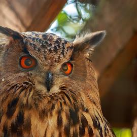Owl  by Rananjay Kumar - Animals Birds ( canon, bird, wild, single, color, owl, eyes, eagal )
