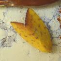 Yellow Moth