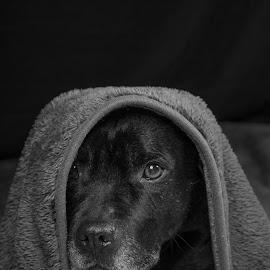 Black dog by Dominique Walraven - Animals Other ( black background, black dog, black and white, dog portrait )