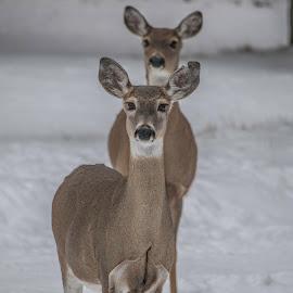 Deer by Denise Johnson - Animals Other ( animals, whitetail deer, winter, nature, white, wildlife, brown, landscape, deer, animal )
