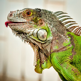 by Joy Advent - Animals Reptiles (  )