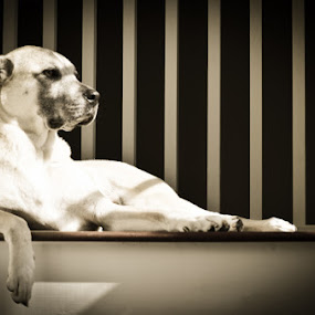 Lazy Days by Pope  Africanas - Animals - Dogs Portraits (  )