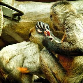 Monkey Mouth by Dustin Wawryk - Animals Other Mammals