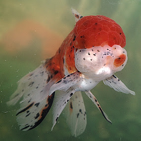 oranda goldfish by Scott Staley - Animals Fish ( #GARYFONGPETS, #SHOWUSYOURPETS )