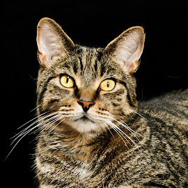 Black Background Tabby Portrait  by Vicki Roebuck - Animals - Cats Portraits ( contrast, black background, natural light, tabby cat, markings, eyes )