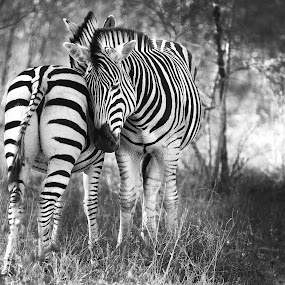 Zebras in love by Aaron St Clair - Animals Other ( b/w, love, safari, south africa, zebra, stripes )