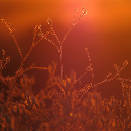*** by Adriana Petcu - Nature Up Close Other plants ( red, nature, light, plants, sunset )