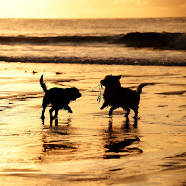 Playing in sunset by Marius Birkeland - Animals - Dogs Playing ( reflection, dogs, sunset, dogs playing, beach,  )