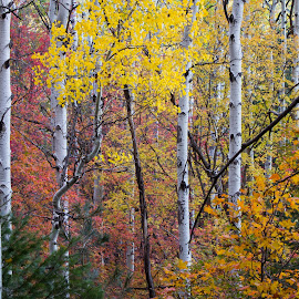 Fall Colors by Gannon McGhee - Landscapes Forests ( mountains, arizona, trail, pinal, canyon, icehouse )
