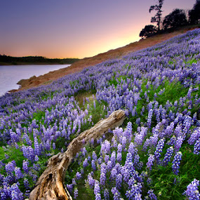 Bloomin Lupine by Dustin Penman - Landscapes Prairies, Meadows & Fields ( purple, blue, sunset, lupine, bloom, lake, log, folsom )