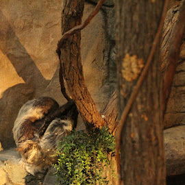 Sloth by Drew Emond - Novices Only Wildlife ( zoo, tree, hide, shadow, sloth )