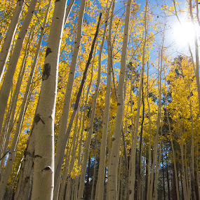 let the light shine by Ruth Jolly - Nature Up Close Trees & Bushes ( nature, seasons, autumn, trees, travel, aspen,  )