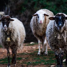 Sheep walk by Marija Kožul - Animals Other ( bell, animals, nature, sheeps, natureza, sheepbell, forest, sheep, natural, wool, animal,  )