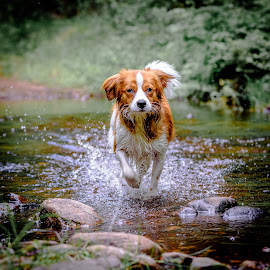 Making a splash by Colin Harley - Animals - Dogs Running ( water, stream, grass, brook, nikkor, forest, kooiker, nature, d750, creek, dog, nikon, kooikerhondje, rocks )