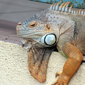by Mohd Roslan Hisam - Animals Reptiles ( iguana. reptiles )