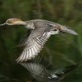 Hooded merganser in flight with reflection! by Anthony Goldman - Animals Birds ( bird, wild, reflection, fligt, female, florida, tampa, duck, wildlife, hooded, merganser, retention pond )