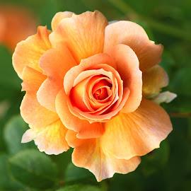 Flower 503 by Raphael RaCcoon - Flowers Single Flower