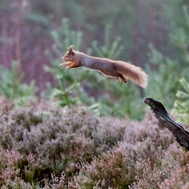 Scottish Red Squirrel by Paul Masterton - Animals Other ( scotland, squirrels, red squirrel, forest, cairngorms, squirrel jump )
