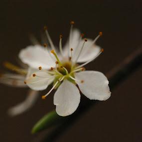 by Jade Bracke - Flowers Single Flower (  )