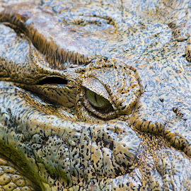 by Steve Hunt - Animals Reptiles ( queensland, crocodile, australia )