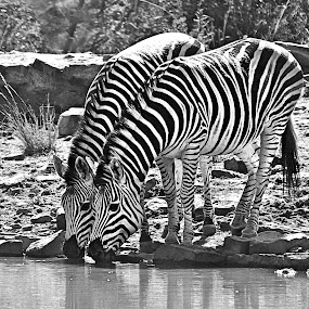 Zebra by Pieter J de Villiers - Black & White Animals ( mammals, animals, marekele national park, south africa, black & white, zebra,  )