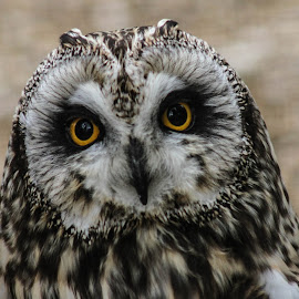 See, I have short ears by Garry Chisholm - Animals Birds ( bird, garry chisholm, nature, owl, wildlife, prey )
