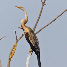 The Oriental Snake Bird by Ujjwal Kumar Siddhanta - Novices Only Wildlife (  )