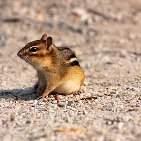 Chipmunk by Julie Quesnel - Animals Other Mammals ( mouse, chipmunk, squiral, brown, rodent )