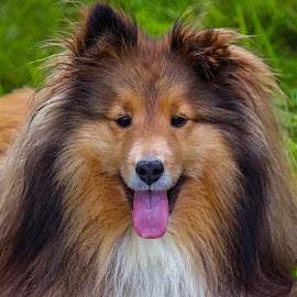 Happy little Girl by Sue Delia - Animals - Dogs Portraits ( shetland sheepdog, smile, dog, sheltie )