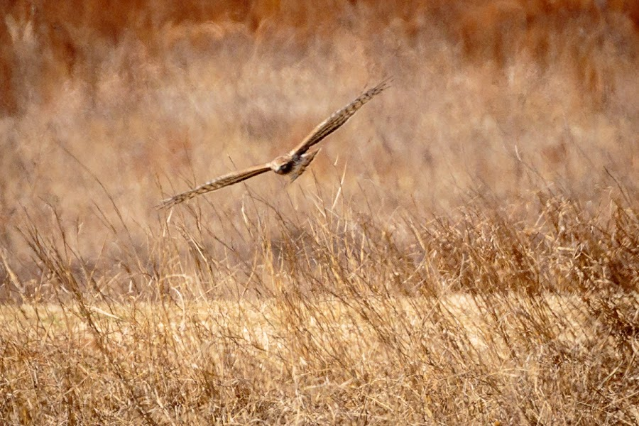 Hunting Red Tail by Jim Hendrickson - Novices Only Wildlife ( bird, bird of prey, red, oklahoma, hackberry flats, hawks, wildlife, birds, tail, hawk )