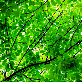 Bright Light through Green Leaves by Surendran Narayanamoorthy - Nature Up Close Leaves & Grasses ( green color, spring time, green leaves, bright green leaves, bright day, spring leaves, leaves, bright colors )