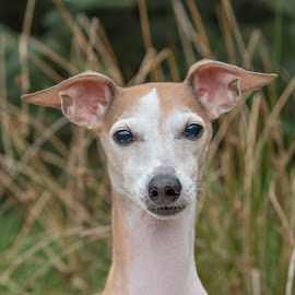 Portia2 by Jennifer Wollman - Animals - Dogs Portraits ( animals, dogs, pet photograhy, italian greyound, dog portrait )