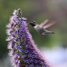 Hummingbird & Flower by Robin Rawlings Wechsler - Animals Birds ( bird, nature, wings, hummingbird, flower )