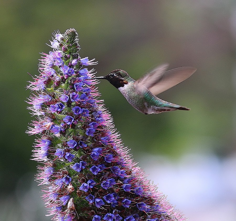 Hummingbird & Flower by Robin Rawlings Wechsler - Animals Birds ( bird, nature, wings, hummingbird, flower )