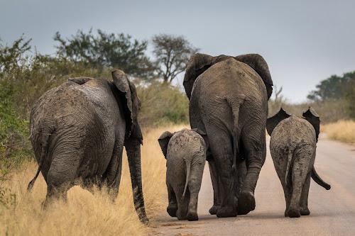 Morning Stroll by Craig Main - Animals Other Mammals ( game park, animals, kruger national park, elephant, kruger,  )