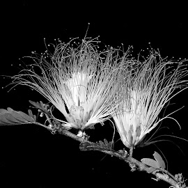Powder puff  by Asif Bora - Black & White Flowers & Plants