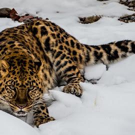 Amur Leopard by Teresa Wilson - Animals Lions, Tigers & Big Cats ( leopard in snow, amur leopard, amur leopard in snow, leopard, triple d )