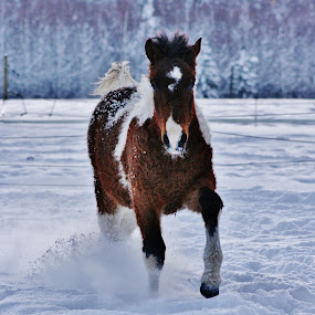 CurlyFilly by Minna Mäkinen - Animals Horses