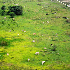 Godhuli by Sourav Naskar - Novices Only Landscapes ( field, grass, green, cow, landscape )