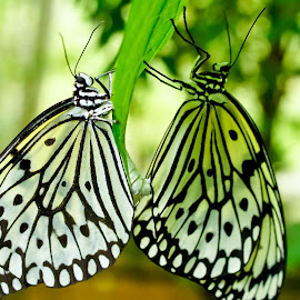 by Gopi Moorthy - Animals Insects & Spiders (  )