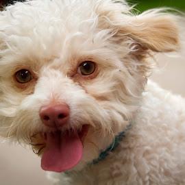 Hello by Scott Thomas - Animals - Dogs Portraits ( white, tongue, animal, dog, cute )