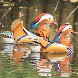 A pair Mandarin males by Edwin Godinho - Animals Birds ( uk, animals, wildlife photography, aix galericulata, mandarin, surrey, wildlife, birds )