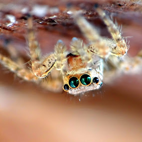 Spider by Brijesh Shivashankar - Animals Insects & Spiders ( macro, aniamalia, arthropoda, spider, chelicerata )
