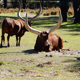 Longhorn Ankole Cattle by Kristine Nicholas - Novices Only Wildlife ( animals, horns, grass, herd, trees, cow, horn, cows, animal )