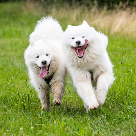 by Peter Grutter - Animals - Dogs Running ( smiling dog, sled dog, dogs, happy, fun, samoyed, smile, running, walk )
