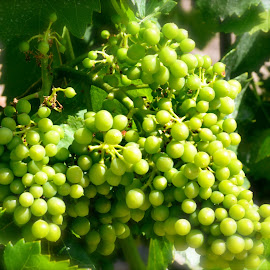 Immature Grapes by Austin Speaker - Nature Up Close Gardens & Produce ( chile, vineyard, grapes, green, santiago, winery )