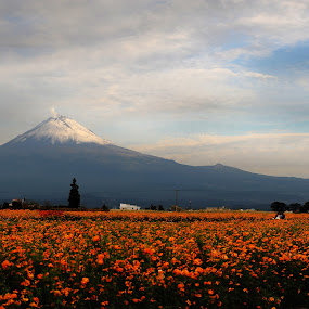 Volcano and flowers field by Cristobal Garciaferro Rubio - Landscapes Prairies, Meadows & Fields ( clouds, orange, volcano, sky, cempazuchitl, flowers, snowy volcano, flower )